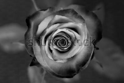 Quadro Rosa. Rosa decorativa in bianco e nero. Elegante fiore romantico.