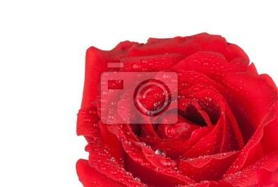 Rosa Rossa Su Sfondo Bianco Giorno Di San Valentino E Il Concetto