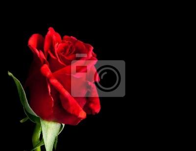 Rosa rossa su sfondo nero con spazio per il testo dipinti da