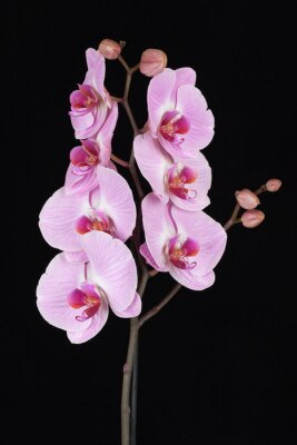 Quadro Rosa striato fiore di orchidea (Phalaenopsis)
