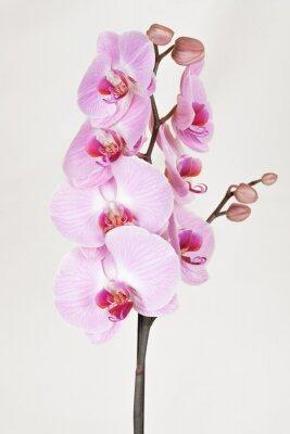 Quadro Rosa striato orchidea