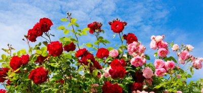 Quadro rose rampicanti rosso e rosa.