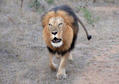 Quadro Ruggito del leone