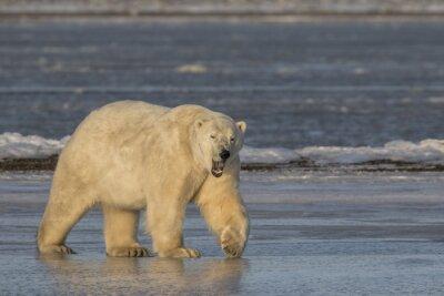 Quadro Sbadigliare Orso polare camminare sul ghiaccio