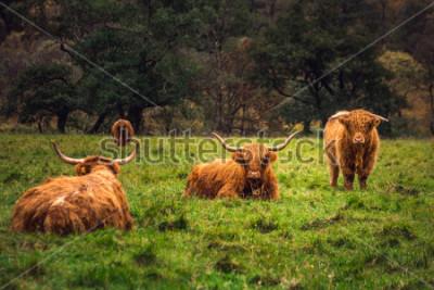 Quadro Scottish Highland Cow in campo con grandi corna e capelli lunghi, in Scozia.