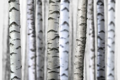 Quadro seamless birch trees