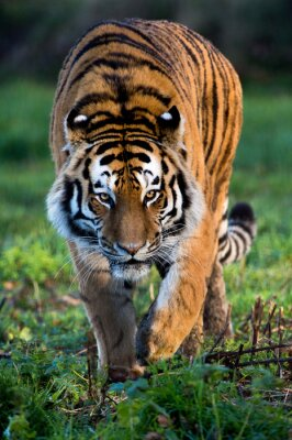 Quadro Siberian Tiger