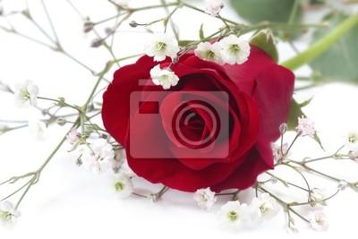 Singolo bocciolo di rosa rossa con fiori bianchi da sposa velo