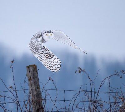 Quadro Snowy Owl in Flight