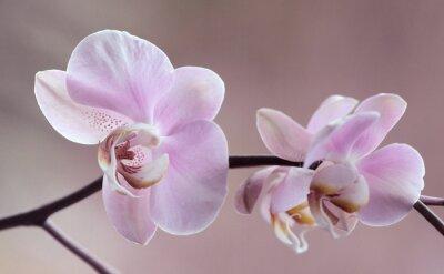 Quadro Storczyki - Orchidea