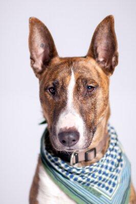 Quadro süßer Hund mit Halstuch schaut am Betrachter vorbei