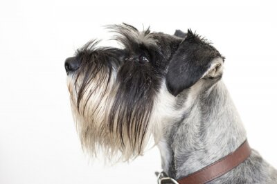 Quadro The wise Schnauzer dog