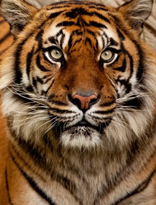 Quadro Tiger portrait