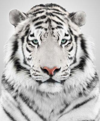 Quadro Tigre bianca