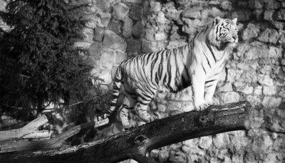 Quadro Tigre bianca in piedi su un tronco in un gap (in bianco e nero, in stile vintage)