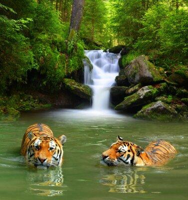 Quadro Tigri siberiane in acqua