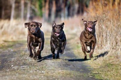 Quadro tre cani felici in esecuzione insieme