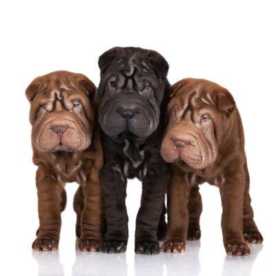Quadro tre cuccioli shar-pei su bianco