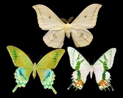 Quadro tre farfalle isolati su nero