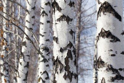 Quadro tronco di betulla in natura