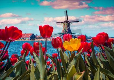 Quadro tulipani in fiore in villaggio olandese con mulini a vento famosi. Mattina di primavera soleggiata sui canali dei Paesi Bassi. Instagram tonificante.