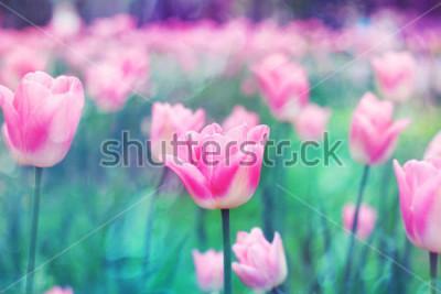 Quadro Tulipani rosa fiori illuminati dalla luce del sole. Messa a fuoco selettiva morbida, tonificante. Luminoso sfondo colorato foto