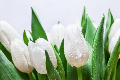Tulipano bianco fresco bouquet con gocce dacqua close-up su dipinti ...