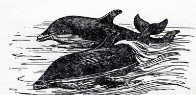 Quadro Tursiope comune delfino (Tursiops truncatus)