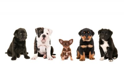 Quadro Tutti i tipi di cute razza diversa di cucciolo cani isolato su uno sfondo bianco, come un chihuahua, rottweiler, border collie, labrador e un bulldog inglese