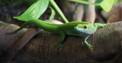 Quadro Un geco verde, appollaiato su un ramo
