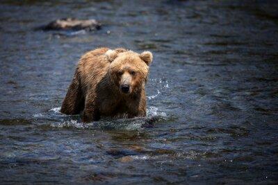 Quadro Un orso bruno dell'Alaska guada attraverso il fiume Brooks in cerca di salmoni.
