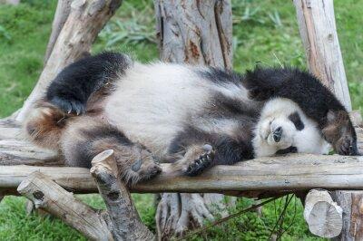 Quadro Un sonno panda gigante