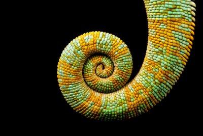 Quadro Una coda rannicchiata di un camaleonte Yemen isolato su uno sfondo nero