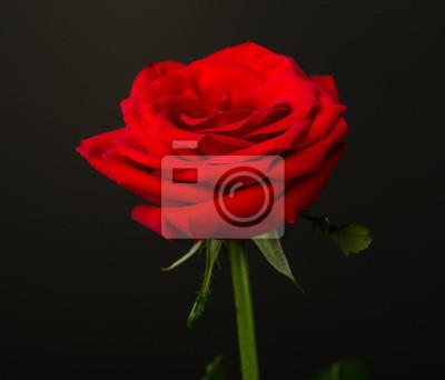 Una Rosa Rossa Su Sfondo Nero Dipinti Da Parete Quadri Beatiful
