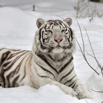 Quadro Una tigre del Bengala bianca, calma sdraiato sulla neve fresca. La più bella e la bestia animale molto pericoloso del mondo. Questo grave rapace è una perla della fauna selvatica. volto ritratto degli