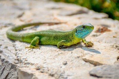 Quadro Verde smeraldo gecko lucertola prendere il sole su una roccia