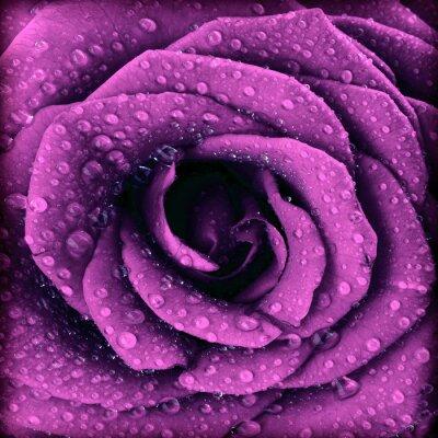 Quadro Viola scuro sfondo rosa