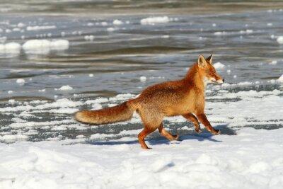 Quadro volpe rossa in esecuzione sul ghiaccio