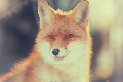 Quadro volpe rossa nella foresta di inverno Abbastanza
