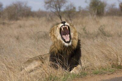 Quadro wild male lion yawning in the bush