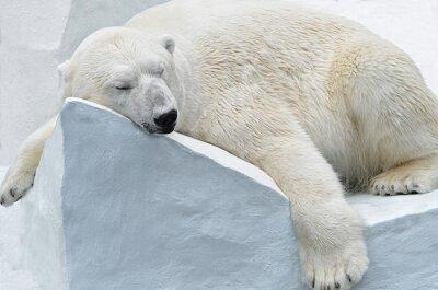 Quadro Медведь Белый.